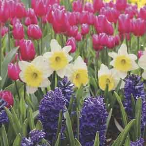 Flowering Bulbs Indoors