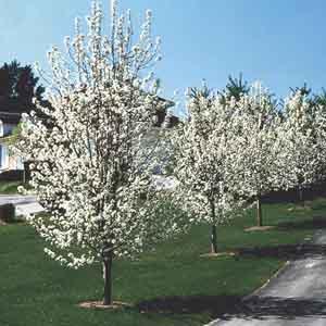 Flowering Pear, Callery Pear