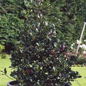 Pyramidal Holly