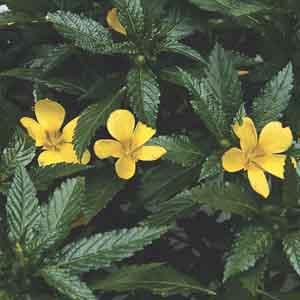 Tumera, Yellow Alder