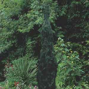 Eastern Juniper, Pencil Cedar, Red Cedar