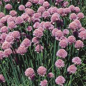 Chives, Onion Chives