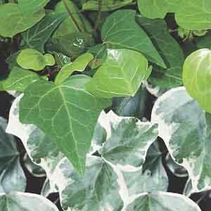 Ivy Indoors