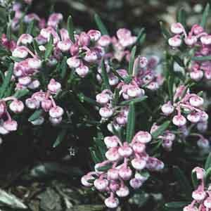 Bog Rosemary, Marsh Andromeda