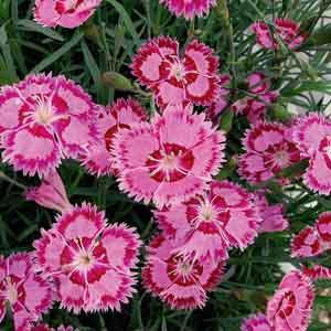 Border Pinks