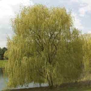 Golden Willow, White Willow