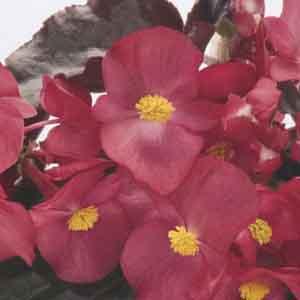 Benary Begonia