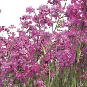 Sticky Catchfly, German Catchfly