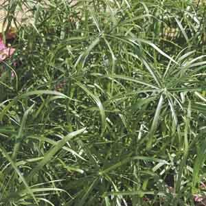Dwarf Cyperus