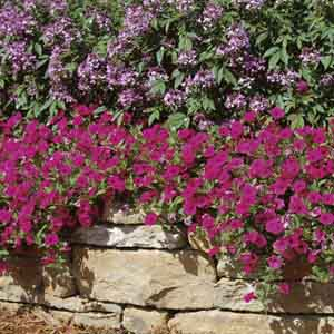 Trailing, Spreading Petunia