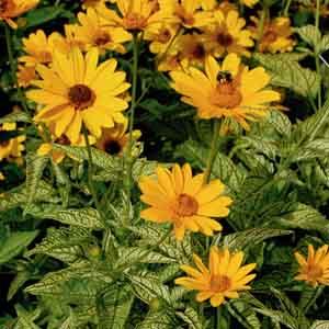 False Sunflower, Ox-eye