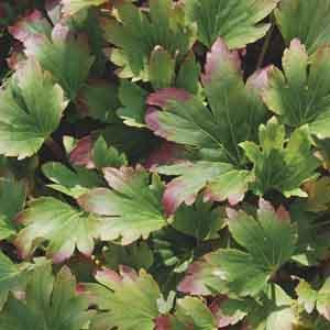 Red Leafed Mukdenia