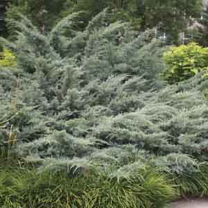 Eastern Juniper, Red Cedar