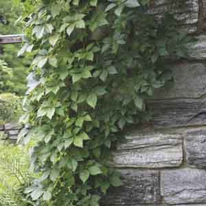 Virginia Creeper, Five-Leaved Ivy