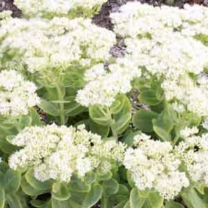Stonecrop, Upright Sedum