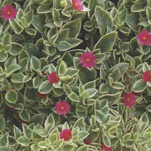 Livingstone Daisy, Ice Plant