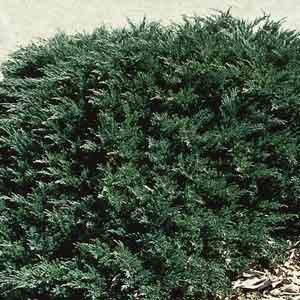 Green Sargent Juniper