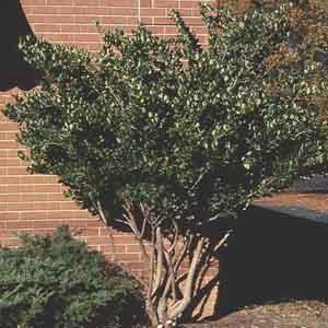 Curly Leaf Privet