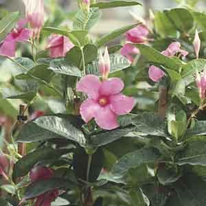 Mandevilla, Pink Allamanda