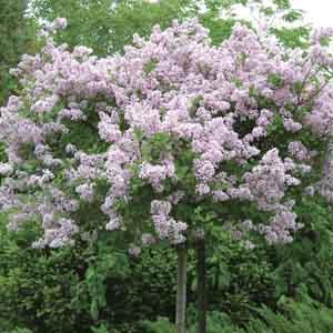 Dwarf Korean Lilac Standard