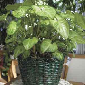 Butterfly Plant, Arrowhead Plant