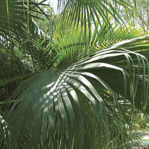 Chinese Fan Palm, Fountain Palm