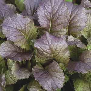 Red Ornamental Mustard