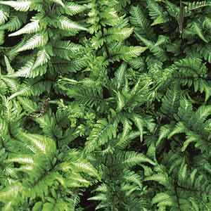 Crested Japanese Painted Fern