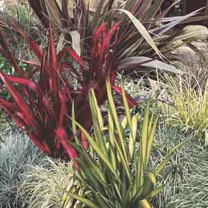 New Zealand Flax Hybrid