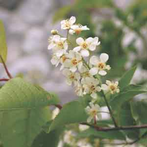 Choke Cherry, Bitter-berry, Virginia Bird Cherry
