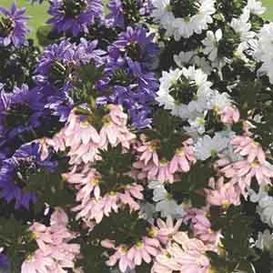 Scaevola, Fan Flower