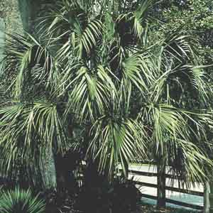 Windmill Palm, Chusan Palm
