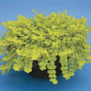 Golden Creeping Jenny, Gold Moneywort