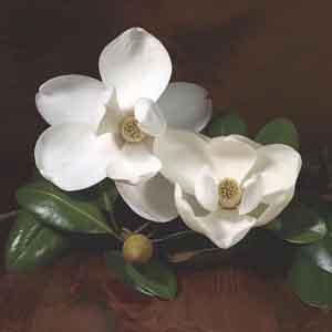 Southern Magnolia, Evergreen Magnolia, Big Bay