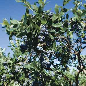 Half Highbush Blueberry