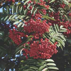 European Mountain Ash, Rowan