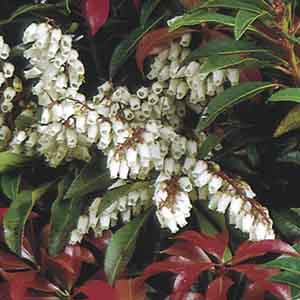 Japanese Pieris, Lily Of The Valley Shrub