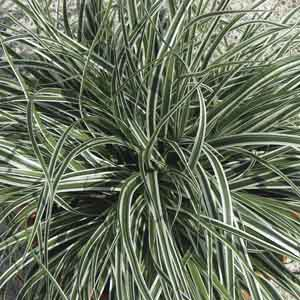 Carex, Sedge