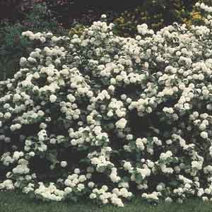Japanese Snowball Viburnum, Doublefile Viburnum