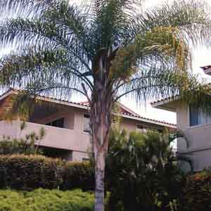 Queen Palm, Cocos Palm