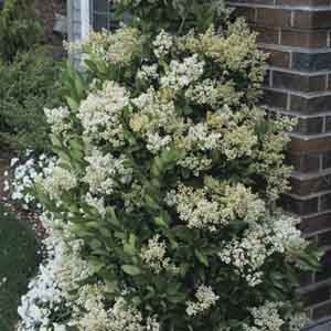 Japanese Privet, Waxleaf Privet