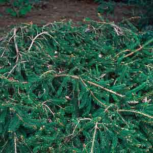 Spreading, Prostrate Norway Spruce