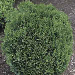 Dwarf Globe Arborvitae