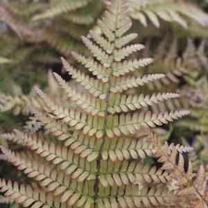 Autumn Fern Indoors
