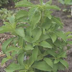 Sweet Leaf, Sugar Leaf, Stevia