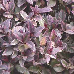 Pseuderanthemum, Purple False Eranthemum