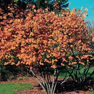 Hazelnut, American Filbert