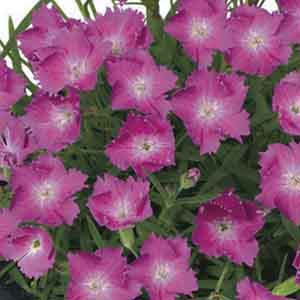 Hardy Carnation