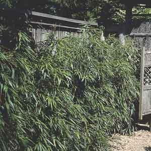 Golden Bamboo, Fish Pole Bamboo