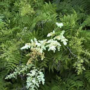 Sorbaria, False Spirea